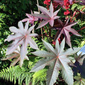 Rizinus rot Blätter