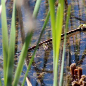 Wasserfrosch Angerlohe