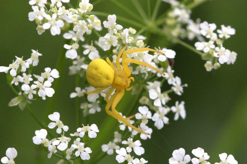 Veraenderliche Krabbenspinne gelb