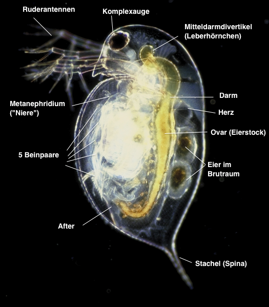 Daphnia pulex - Anatomie