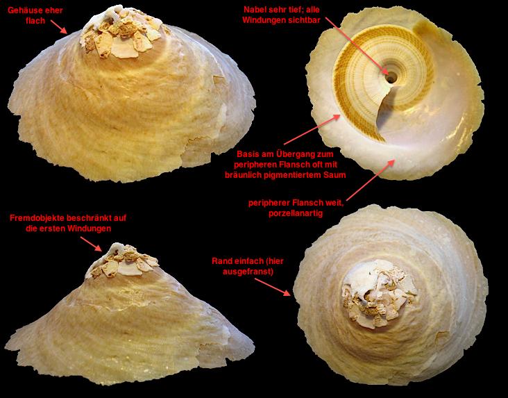 Onustus indicus - Merkmale