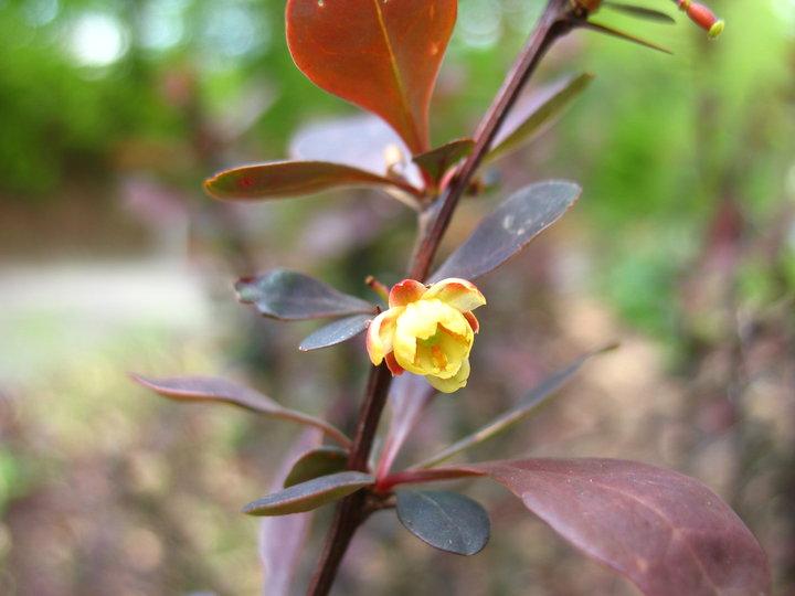 Blutberberitze (Berberis sp.)