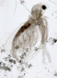 Diaphanosoma brachyurum, Fotomontage aus 3 Bildern, 100x