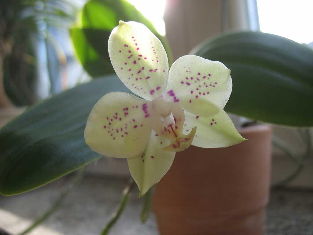 grünlich-weiße Orchidee mit rosa Sprenkeln