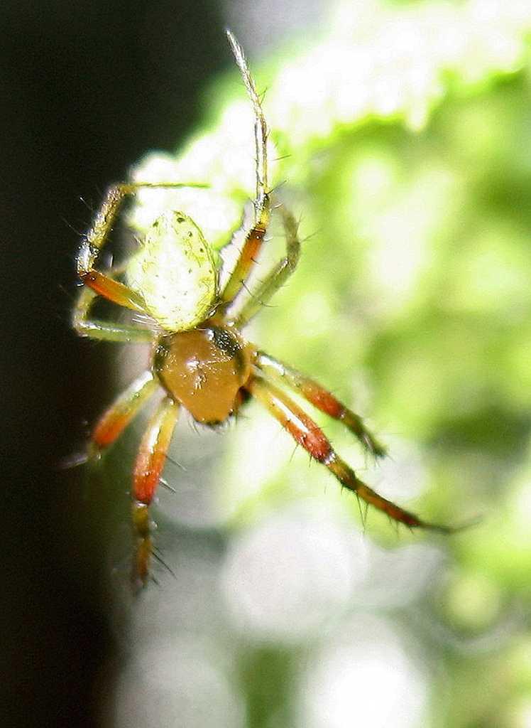 Winzige Spinne auf einer Brennnessel, Aubinger Lohe