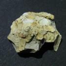 Xenophora agglutinans 1 - dorsal (a)
