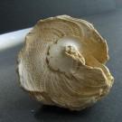 Xenophora burdigalensis 3 - basal