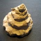 Xenophora conchyliophora 2