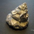 Xenophora conchyliophora, Born 1780, Sarasota, Florida, Pliozän