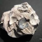 Abb. 2: Xenophora crispa, König 1825, Castell'Arquato (Italien), Unteres Pliozän