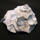 Xenophora crispa 2