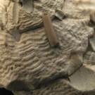 Xenophora crispa 4 - Skulptur