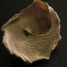 Xenophora delecta floridana 2 - basal
