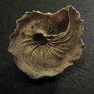 Xenophora schroeteri 1 - basal