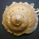 Stellaria chinensis 3 - apikal