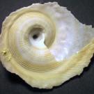 Stellaria lamberti 1 - basal