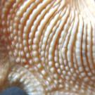 Stellaria solaris paucispinosa 1 - Basis Skulptur