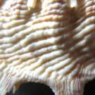Stellaria solaris paucispinosa 1 - Skulptur