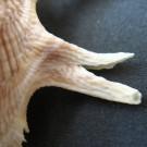 Stellaria solaris paucispinosa 2 - Doppelstachel