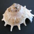 Stellaria solaris paucispinosa 3 - schräg (a)