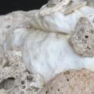 Xenophora conchyliophora 1 - Skulptur