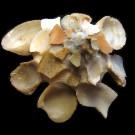 Xenophora crispa 2 - apikal