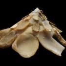 Xenophora crispa 2 - lateral (a)