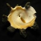 Xenophora crispa 3 - basal