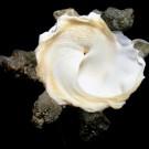 Xenophora crispa 4 - basal