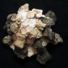 Xenophora crispa 4 - schräg