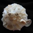 Xenophora peroniana peroniana 1 - apikal