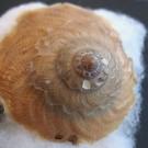 Onustus exutus 3 - dorsal