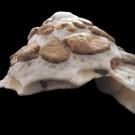 Xenophora corrugata 1 - lateral (b)