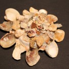 Xenophora corrugata tulearensis 2 - schräg (a)