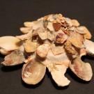 Xenophora corrugata tulearensis 2 - schräg (b)