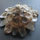 Xenophora corrugata tulearensis - schräg (b)
