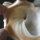 Xenophora crispa 1 - Basis Skulptur (a)