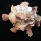 Xenophora crispa 1 - schräg (b)