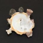 Xenophora crispa 10 - Basis