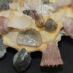 Xenophora crispa 10 - Detail