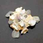 Xenophora crispa 9 - apikal