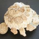 Xenophora granulosa