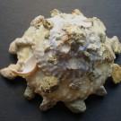 Xenophora granulosa 3 - dorsal