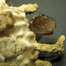Xenophora granulosa 4 - Detail 2