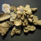 Xenophora japonica 2 - schräg