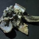 Xenophora japonica 4 - schräg