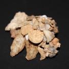 Xenophora japonica 5 - schräg