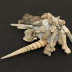Xenophora japonica 6 - schräg