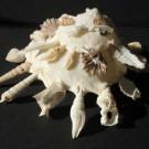 Xenophora pallidula, Reeve 1842, Siquijor, Phillippinen