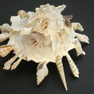 Xenophora pallidula 1 - schräg (b)